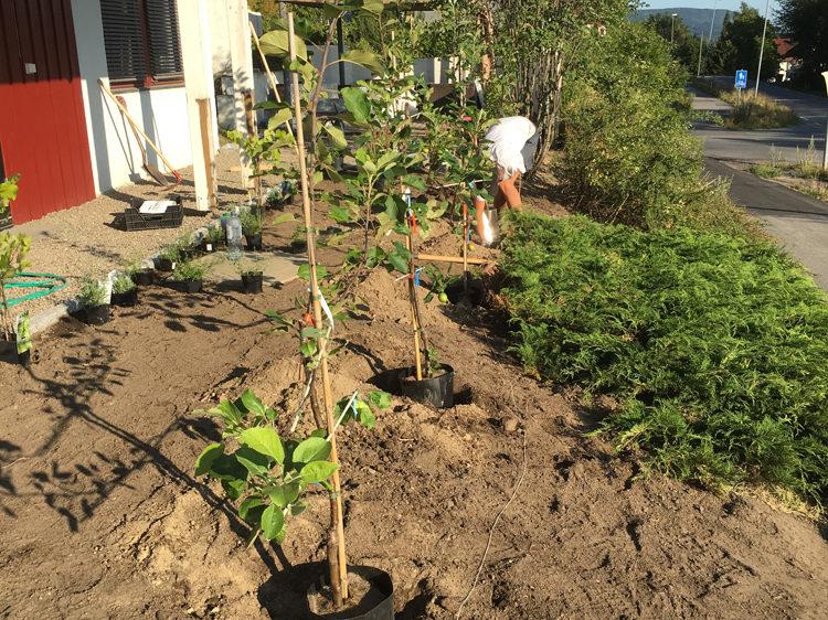 eplehekk plantes