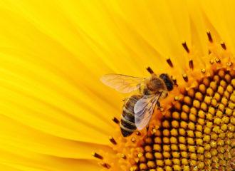 bie og solsikke